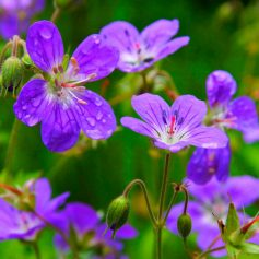 Wood Cranesbill © Keith Robeson