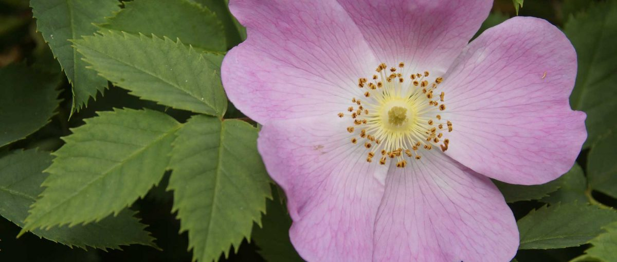 Dog Rose © Keith Robeson