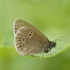 Ringlet Butterfly © Keith Robeson